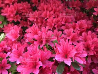 花の写真・画像素材[508763]