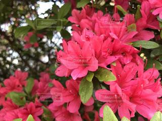 花の写真・画像素材[508764]