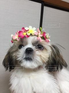 花飾りとシーズーの写真・画像素材[1015032]