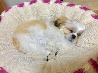 気持ち良さそうに寝るシーズーの写真・画像素材[1015166]