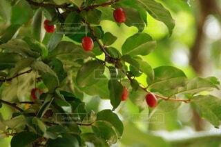 夏グミの赤い実の写真・画像素材[4465525]