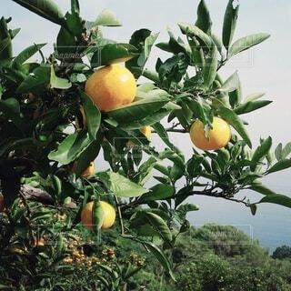 木になっている柑橘系果物の写真・画像素材[4408299]