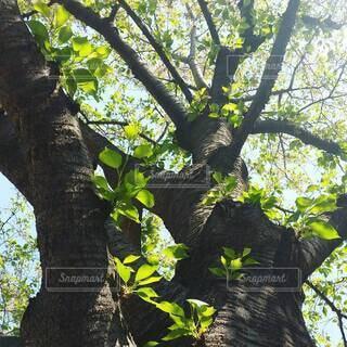陽射しをたくさん浴びている大きな木の写真・画像素材[4416692]