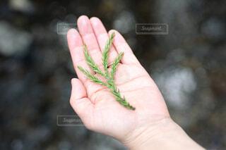 大人の左手のひらにのせた杉の葉の写真・画像素材[4669807]