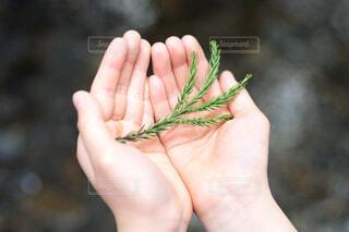 子どもの両手のひらにのせた杉の葉の写真・画像素材[4669826]