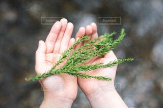 子どもの両手のひらにのせた杉の葉の写真・画像素材[4669825]