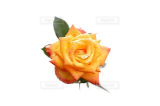 水滴が花びらについているオレンジ黄色のバラの花の写真・画像素材[4677392]
