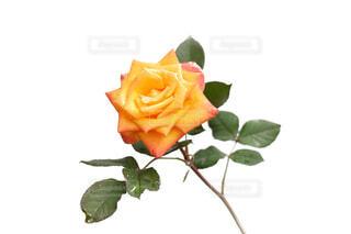水滴が花びらについているオレンジ黄色のバラの花の写真・画像素材[4677391]