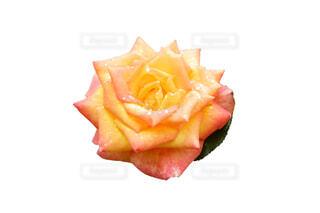 水滴が花びらについているオレンジ黄色のバラの花の写真・画像素材[4677393]