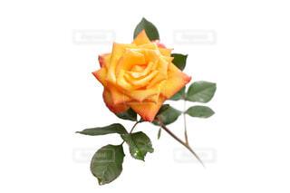 水滴が花びらについているオレンジ黄色のバラの花の写真・画像素材[4677394]
