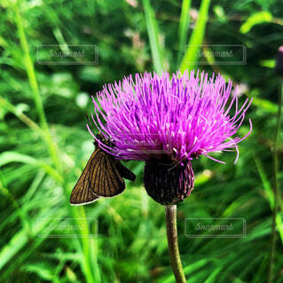 紫色の花のクローズアップの写真・画像素材[4419088]