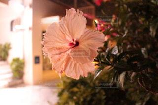 沖縄のハイビスカスの写真・画像素材[4407327]
