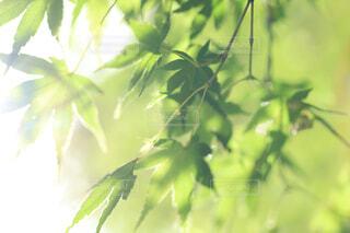 光を浴びる青もみじの写真・画像素材[4408595]