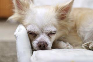 おやすみ中の愛犬の写真・画像素材[4408623]