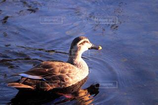 川を泳ぐカルガモの写真・画像素材[4408798]