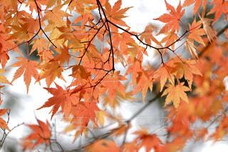 オレンジの紅葉の写真・画像素材[4409046]