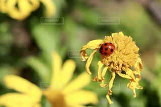 黄色い花にとまっているてんとう虫の写真・画像素材[4414374]