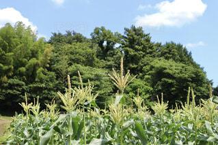 トウモロコシ畑の写真・画像素材[4502444]