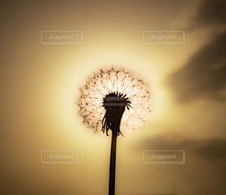綿毛のランプの写真・画像素材[4409140]