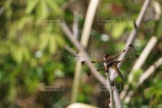 絶滅危惧種のベッコウトンボの様子の写真・画像素材[4408910]