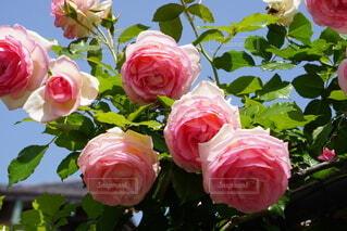 可愛いバラたちの写真・画像素材[4410543]