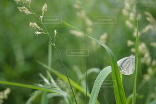 葉にとまる蝶々の写真・画像素材[4442177]