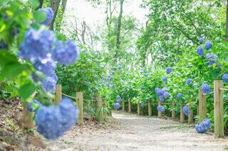 紫陽花の小道の写真・画像素材[4465301]