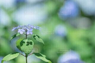 紫陽花と影の写真・画像素材[4510616]