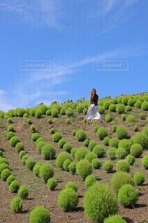 コキア畑の写真・画像素材[4416435]
