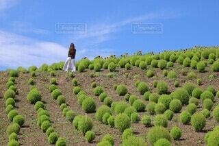 コキア畑の写真・画像素材[4416436]