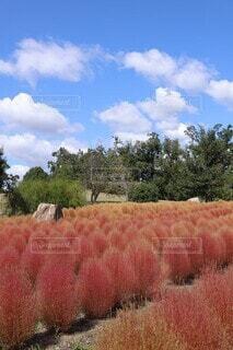コキア畑と青空の写真・画像素材[4416447]