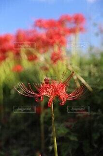 凛と咲く彼岸花の写真・画像素材[4416451]