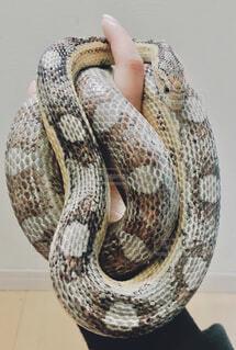 蛇のクローズアップの写真・画像素材[4430497]
