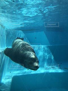 水のプールで泳ぐホッキョクグマの写真・画像素材[4413931]