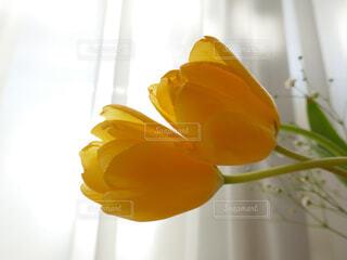カーテン越しの柔らかな光の中の黄色のチューリップの写真・画像素材[4605393]