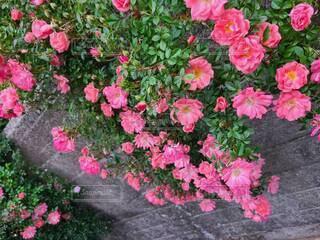 植物の上のピンクの花のクローズアップの写真・画像素材[4435563]