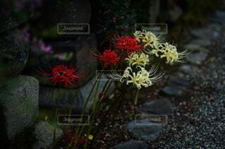 お寺で彼岸花が咲いていたの写真・画像素材[4813137]