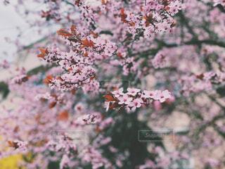 ポーランドの桜に似た花の写真・画像素材[4434286]