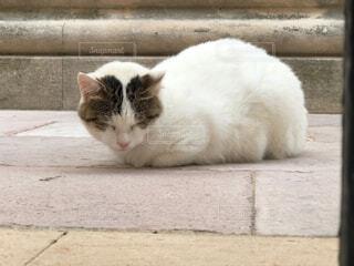 クロアチアの猫の写真・画像素材[4452655]