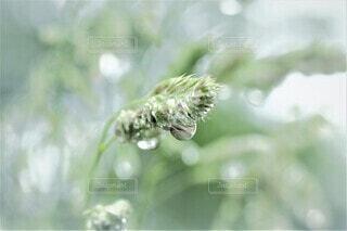 雨上がりの草むらの写真・画像素材[4433205]