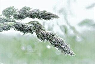 雨上がりの草むら、水滴が輝く。の写真・画像素材[4433358]