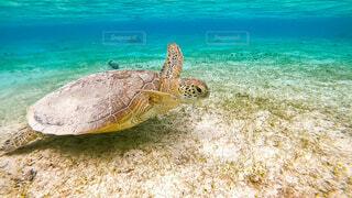宮古島のウミガメの写真・画像素材[4445588]