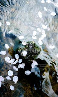 水面に落ちる桜の写真・画像素材[4428635]