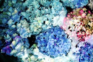 水に浸る紫陽花の写真・画像素材[4432749]