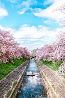 桜に囲まれてる河の写真・画像素材[4437847]