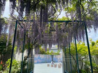 藤の花の写真・画像素材[4431660]