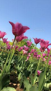 お花畑に咲くピンク色の可愛いチューリップです🌷の写真・画像素材[1142730]