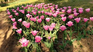 お花畑に咲くピンク色の可愛いチューリップです🌷の写真・画像素材[1142732]