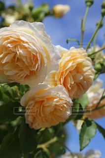 近くの花のアップの写真・画像素材[1221510]