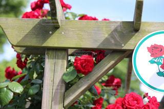 ひょっこり顔を出した赤いバラの写真・画像素材[1227298]